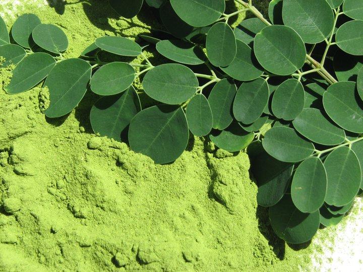 نبات المورينجا
