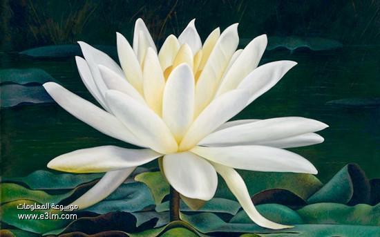 زهرة اللوتس البيضاء (White Lotus)