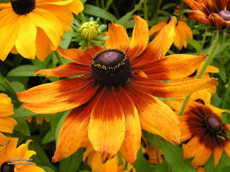زهرة ردبكية (Rudbeckia)